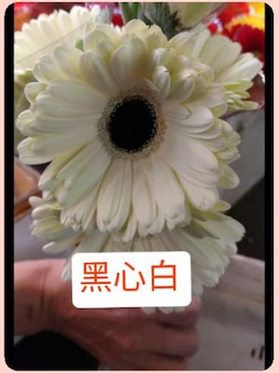 非洲菊  黑心白 產地台灣 8枝送2枝共10枝
