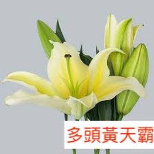 多頭百合 黃天霸 黃色 產地廣州 5枝