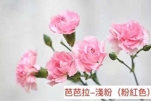 多頭康乃馨 (小丁)芭芭拉-淺粉(粉紅色)產地昆明 18枝送2枝共20枝