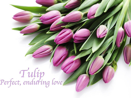 Tulip 鬱金香 - 愛的表白