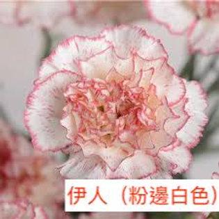 康乃馨(大丁)伊人(粉邊白色)產地昆明 18枝送2枝共20枝