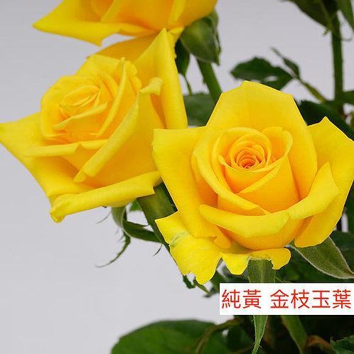 玫瑰 純黃 金枝玉葉 產地昆明 18枝送2枝共20枝