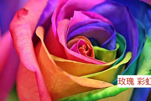 玫瑰 玫瑰 彩虹 18枝送2枝共20枝