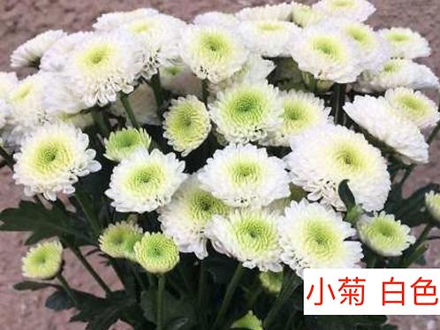 多頭小菊 白色 產地昆明 8枝送2枝