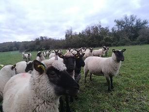 brebis la ferme des forgerons élevage