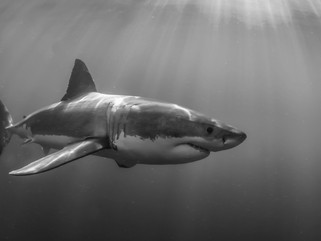 Intellectual Property and the Sharks