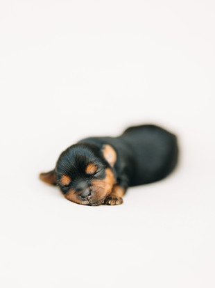 Puppy Pile-Up, Yorkie Terrier Newborn Session by Lana Tavares, 222 Photography