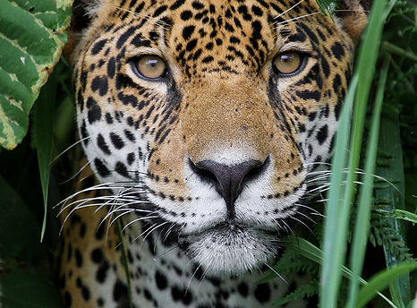 Jaguar in the Amazon Jungle.jpg
