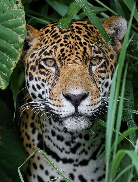 Jaguar in the Amazon Jungle.jpg