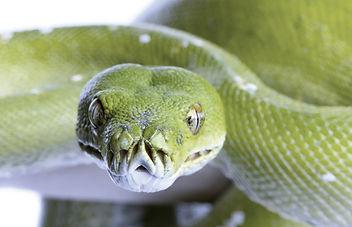 green tree python - Morelia viridis (5 y