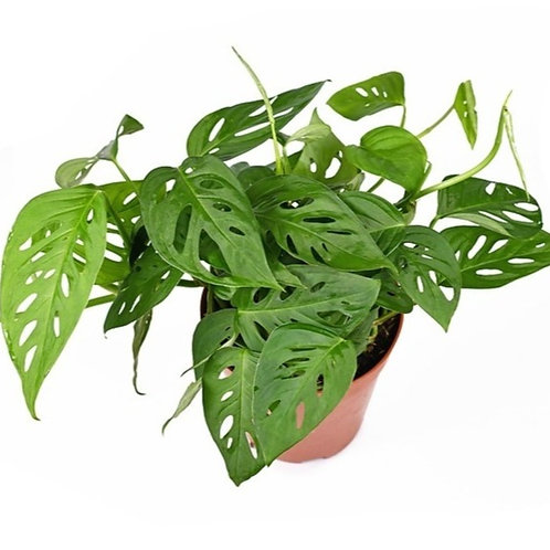 Swiss Cheese Plant (Philodendron)