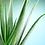 Thumbnail: Aloe Vera (Aloe barbadensis miller)