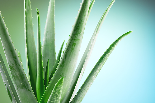 Aloe Vera (Aloe barbadensis miller)