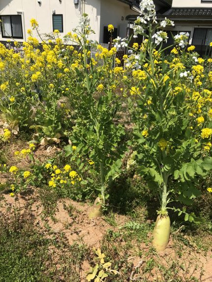 ドッグランカフェMOMOの畑の大根と白菜から花が!
