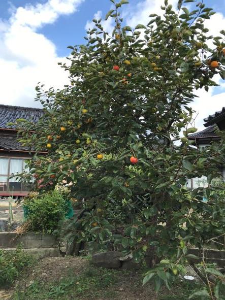 MOMOの柿の木
