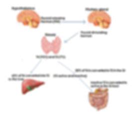 Thyroid hormons metabolism