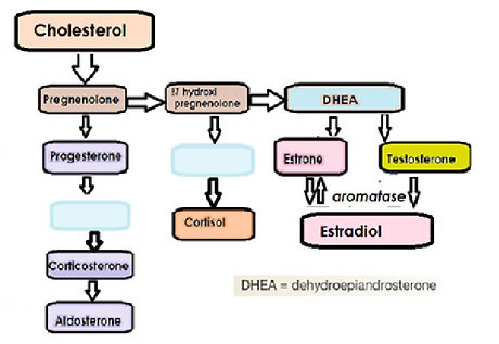 Steroid hormons biosynthesis pathway