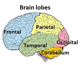Brain lobes and there function