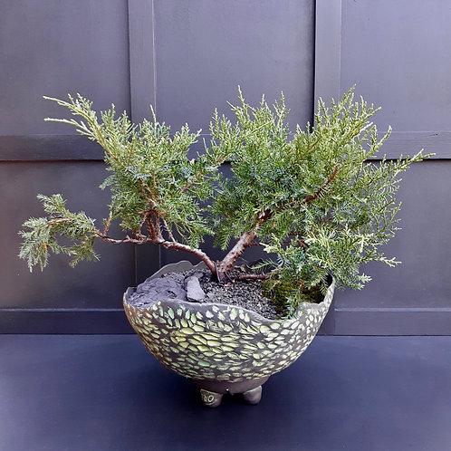 Gold Star Juniper Bonsai
