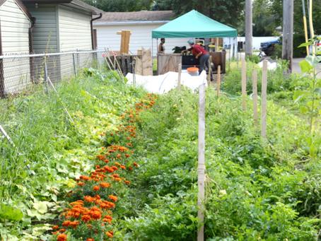 Growing food for neighbours in McKernan
