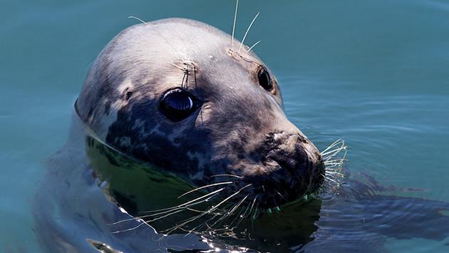 irish seal