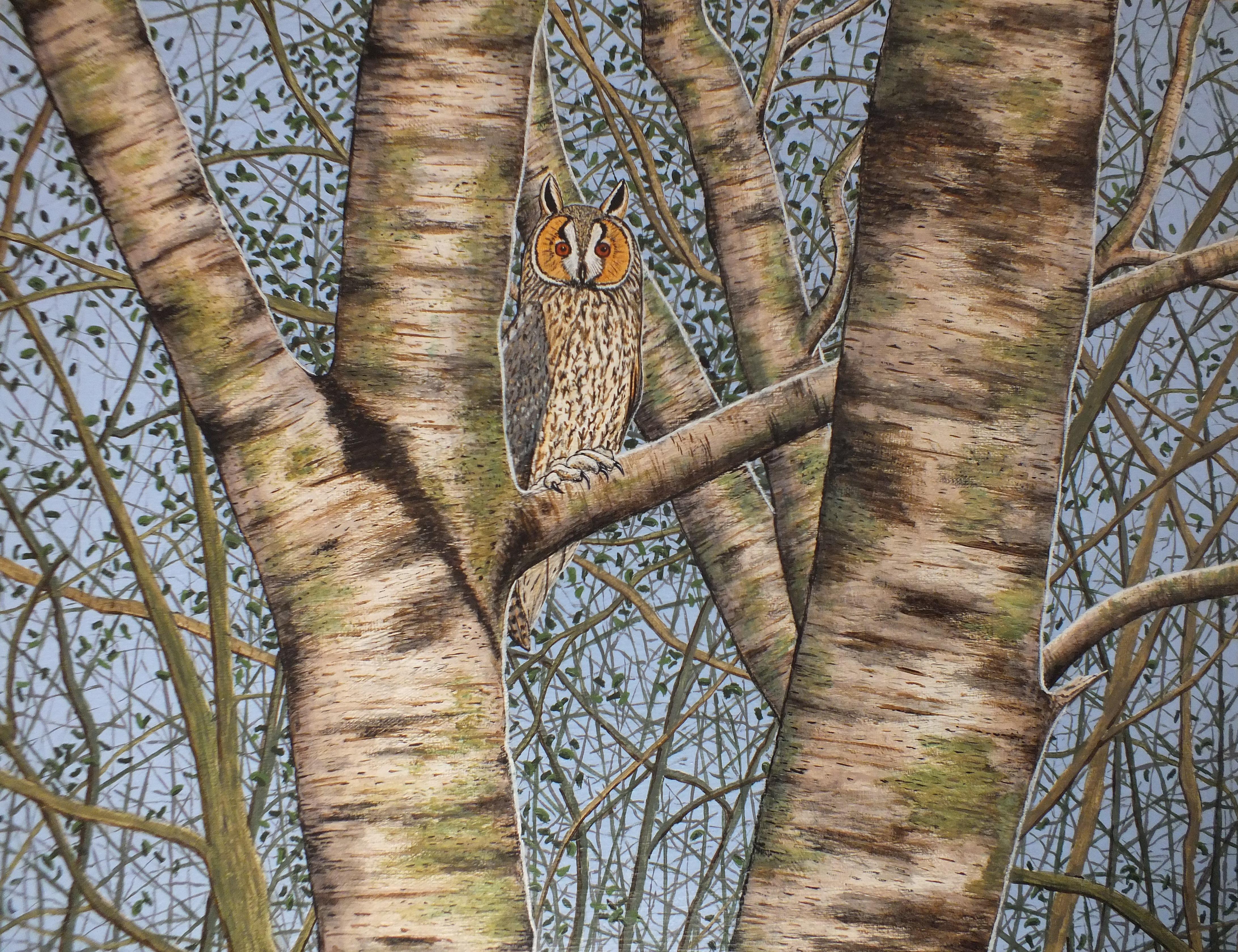 Long eared Owl in Birch