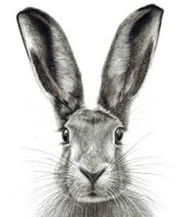 Norfolk Hare