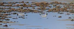 Gulls amongst the rock pools, Cromer.