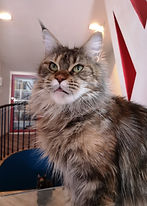 The Power of Life Sudden Blazing, CZ Maine Coon