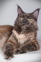 Kitty GIANTCOON, MaineCoon