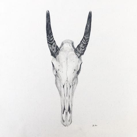 Nilgai Skull.JPG