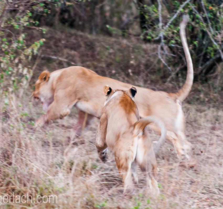 Löwin attackiert Löwin_IGB2596