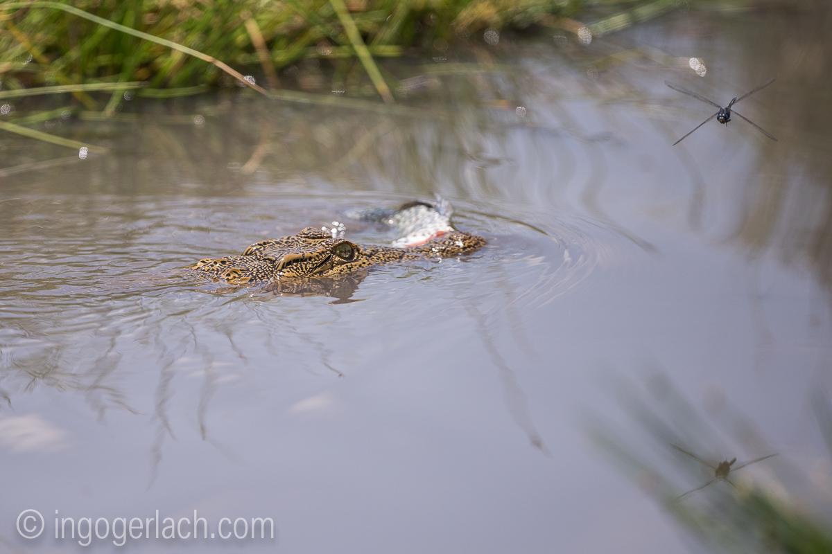 Krokodil_und_Tilapia_D8N_4893