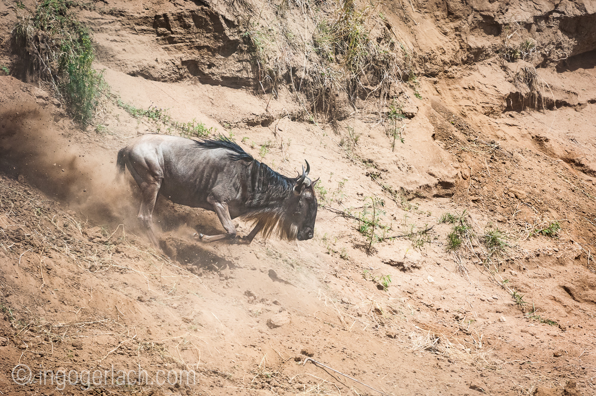 wildebeest jump to death_IWG4365