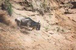 wildebeest jump to death_IWG4365