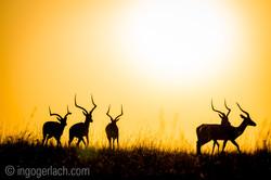 Impala at sunrise_D4N_2843