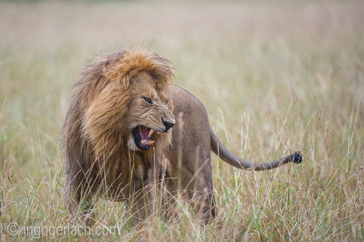 Löwen: Kampf der Giganten_D3S4020