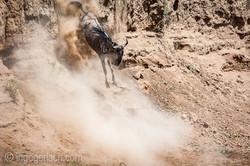 wildebeest jump to death_IWG4410