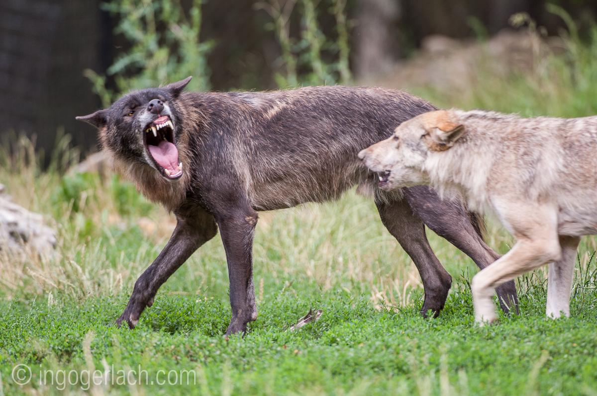 Timberwolf und Grauwolf_IGB8062
