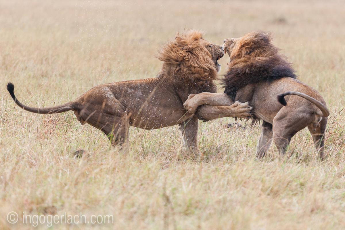 Löwen: Kampf der Giganten_D3X8134