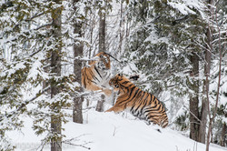 Sibirischer Tiger_IG34775