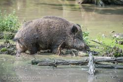 Wildschwein im Wasser_D4N7245