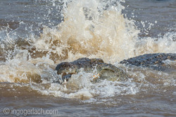 Kämpfende Krokodile_D726656