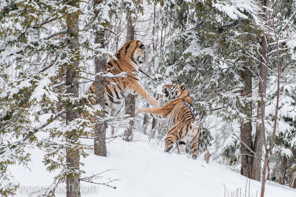 Sibirischer Tiger_IG34780