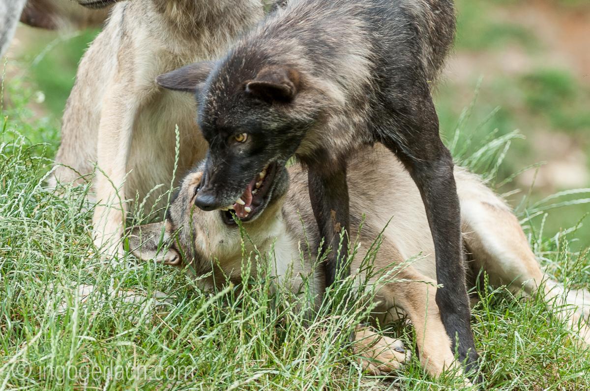 Timberwolf und Grauwolf_IGB7998