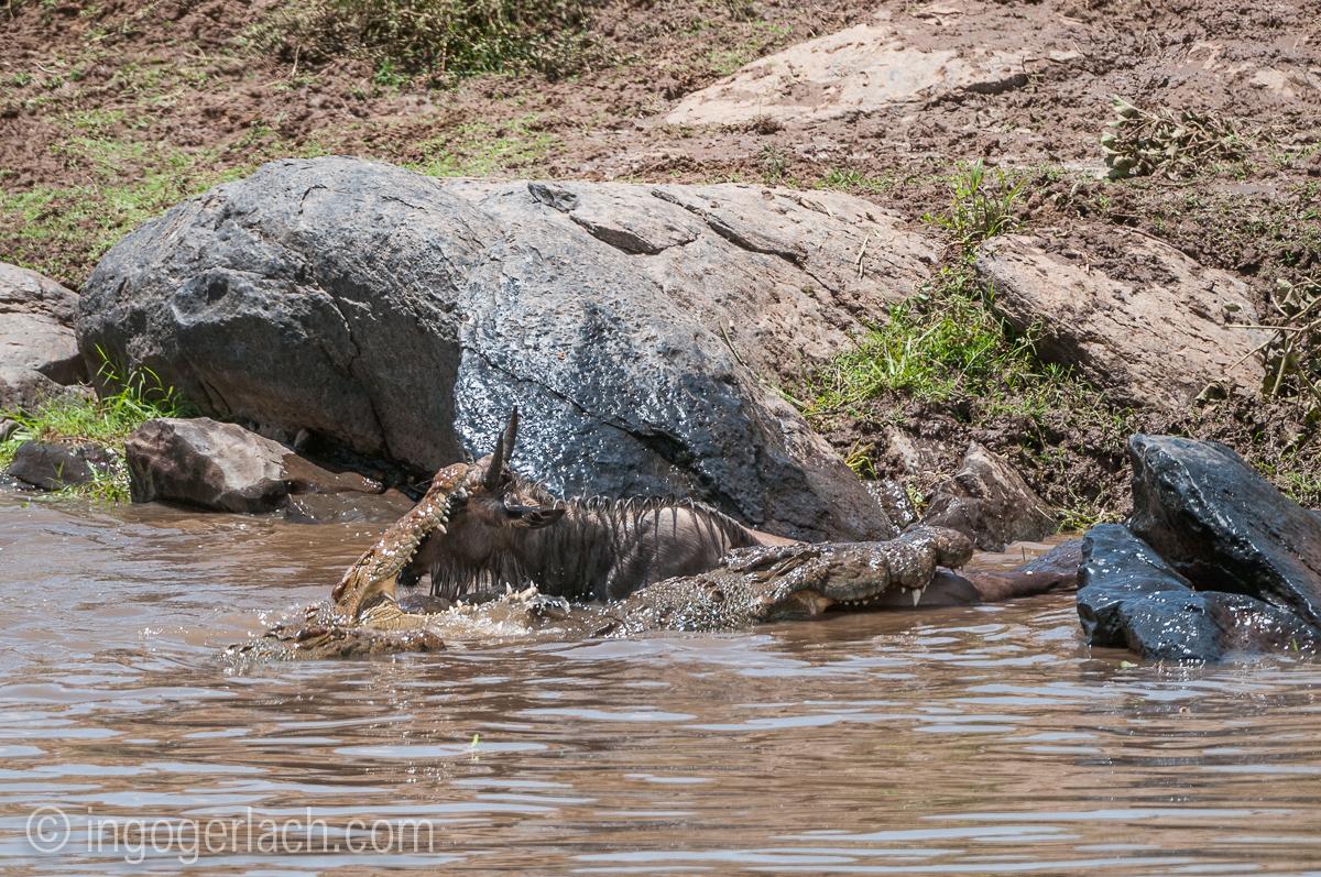 Croc_killt_Gnukalb_IGB3352