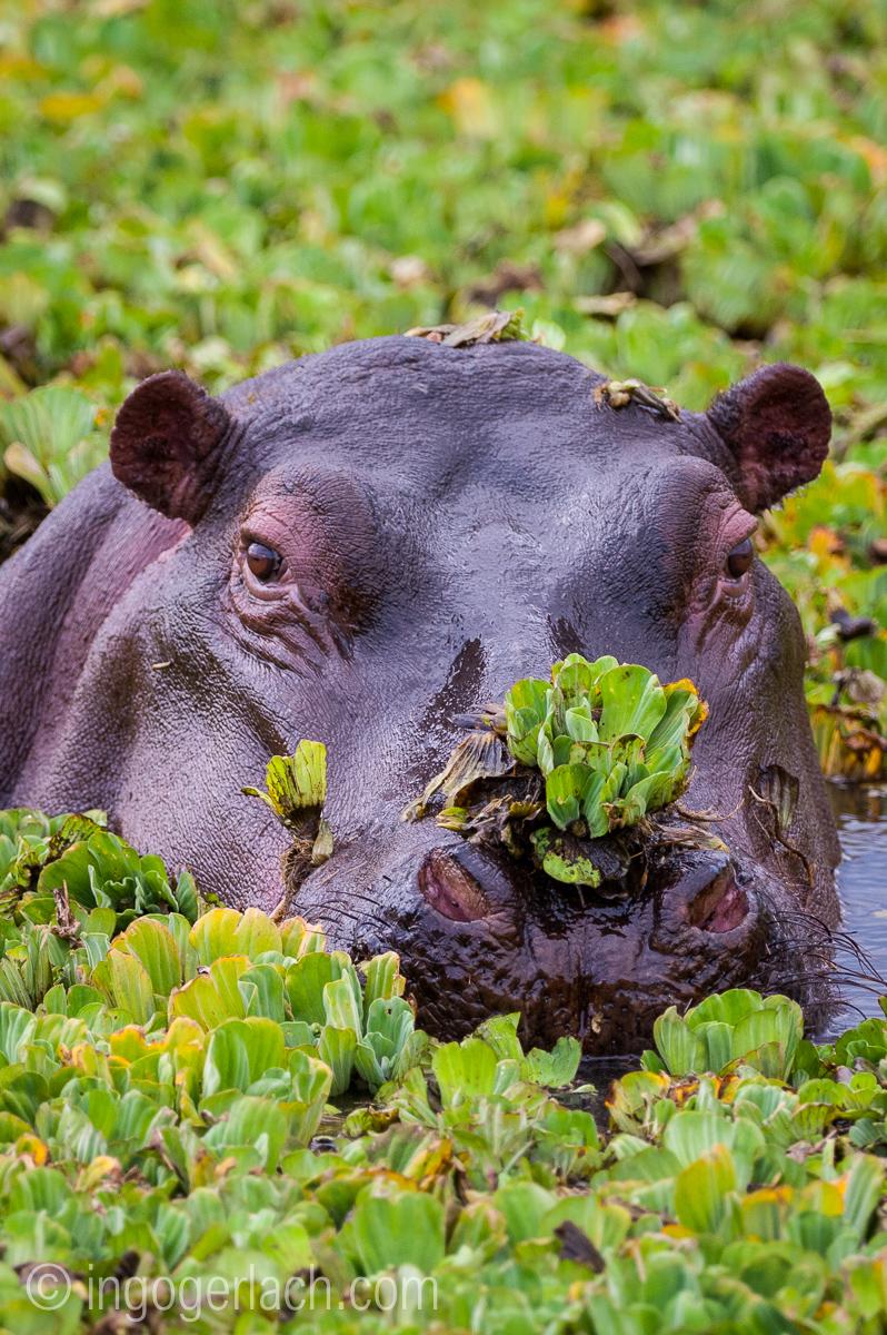 Flusspferd im Salat_IGB4532
