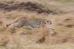 Geparden auf Jagd_IG37599-2