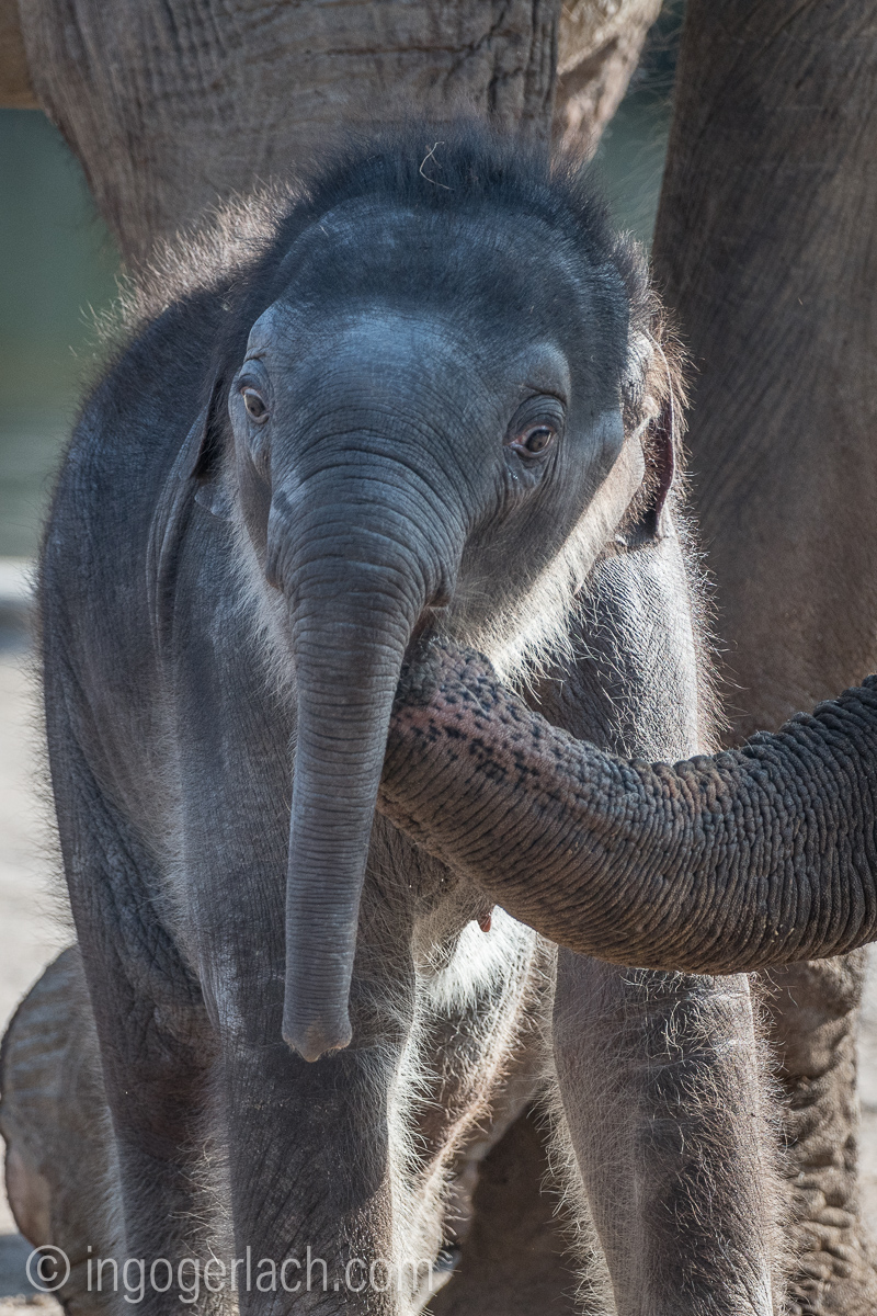 Baby_elephant_Zoo_Cologne_D50_2811