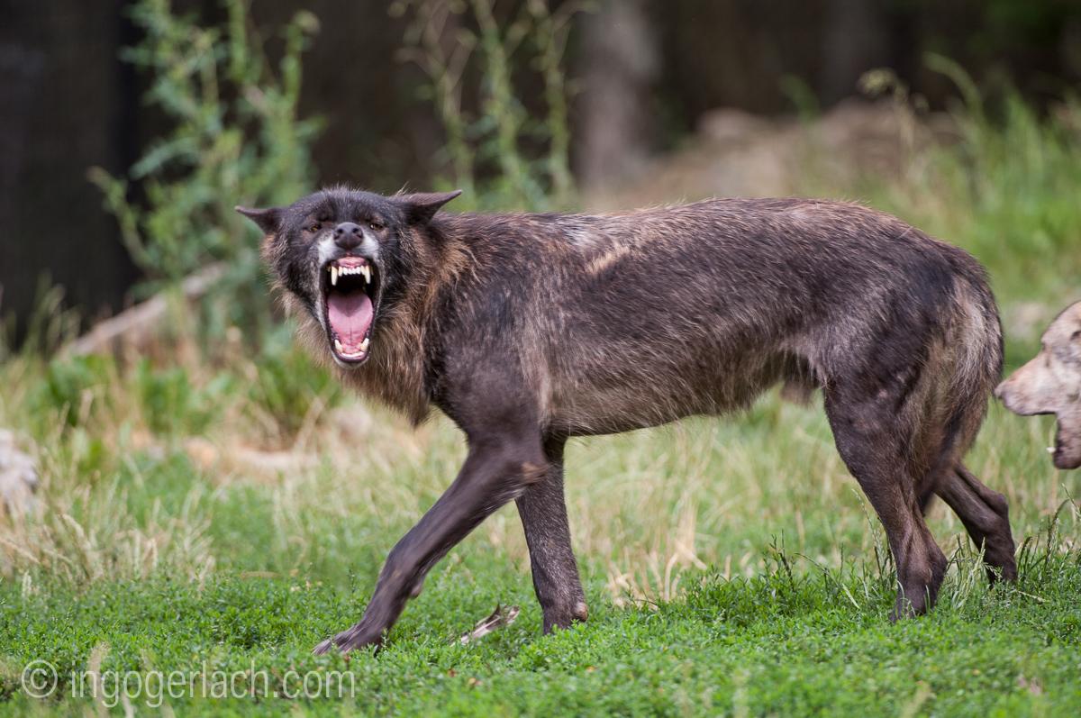 Timberwolf und Grauwolf_IGB8059